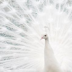 .white peacock