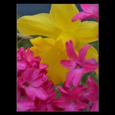 shy daffodil post cards