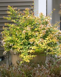 Abelia x grandiflora 'Rika1' BRONZE ANNIVERSARY ABELIA deciduous flowering shrub full to part sun 10 year size: 3-4'HW Compact SUMMER: Fragrant white blooms SUMMER: Bronze-orange new foliage Matures to golden-lime color Semi evergreen Attracts Hummingbirds & butterflies Prune after flowering Deer resistant