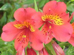la flor, red facilisimo, favourit flower, de planta, espéci de, garden flower