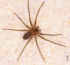 Brown Recluse – Brown Recluse Spider Facts and Fallacies - http://wolfspider.org/brown-recluse/