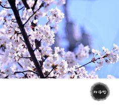 Sakura in spring