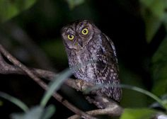 Moluccan Scops Owl (Otus magicus). Photo by Chris Barnes.