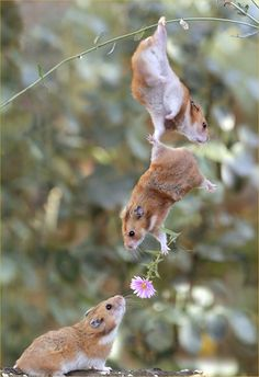 hamster affection
