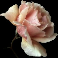 Pink Rose via photobucket.com