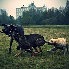 anim fight, dog park, dogs, stick, play hard