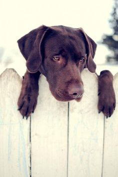 Beautiful chocolate lab, love them with a white background.