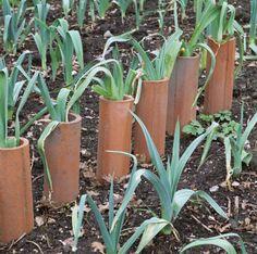 Leeks growing in terracotta pipes