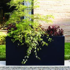 This would be pretty in front of the front porch. Mini landscape - Japanese maple (Acer palmatum 'Seiryu') towers over red-leafed 'Little John' azalea, variegated ivy and abelia in a 2- by 4-foot rectangular black zinc container.