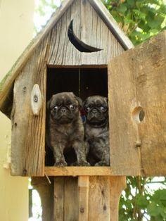 Brindle pug puppies