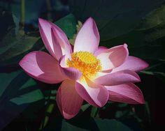 imagenes  | Fotos - Flores de loto Foto Flor de loto