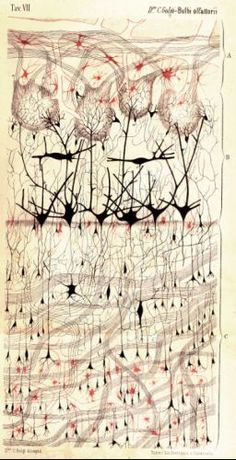Dog Olfactory Bulb (Drawing on paper, 1875)   A drawing of the first area in the brain that processes smells by physician and scientist Camillo Golgi, who invented a revolutionary technique for staining neurons still in use today    Drawing by Camillo Golgi. Courtesy of Dr. Paolo Mazzarello, University of Pavia