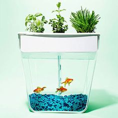 Organic greens like basil, lettuce and wheatgrass grow on top of the AquaFarm Self-Cleaning fish tank