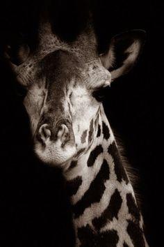 tiger, beauti, baby animals, animal babies, portraits, medicines, black, giraffes, natural beauty