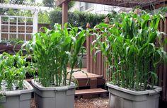 earthtain farm, plant corn, planting corn, garden idea, veget garden