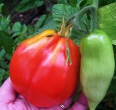 (Please Don't) Eat (This) Tomato - Gardening Jones