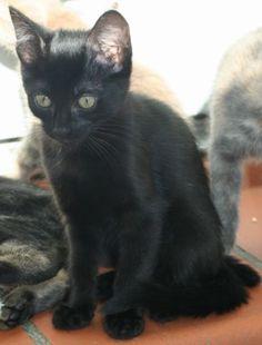 Jarrive, née le 15 mai, Petite et mignonne perle noire, sympa et joueuse. Chats libres de Colomiers(Haute-Garonne)