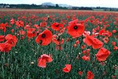 red poppi, colors, beach houses, poppy red, red flowers, emerald city, flower fields, italy, champs