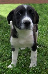 Madeline is an adoptable Border Collie Dog in Hopkinton, MA. Madeline is one of 3 puppies in rescue from a litter given away by their owners to rescue because they couldn't find a home for them. We ha...