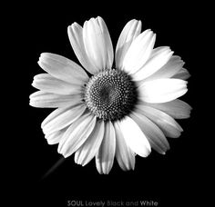 daisy  flower  | black and white photo