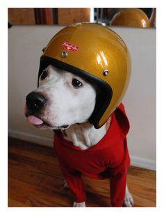 safeti, dogs, helmets, crazi dog, puppi