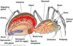 Grande image anatomie araignée femelle. En anglais.