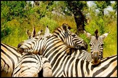 Volunteer with GoEco in South Africa - Zebras from the Wildlife Conservation Program