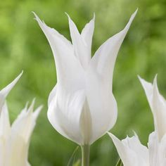 Plant with Queen of Night for a dramatic 'black  white' flower garden look.