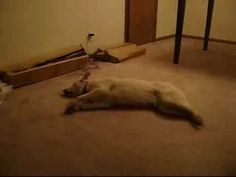 Sleep Walking Dog jajaja pobre perritoo
