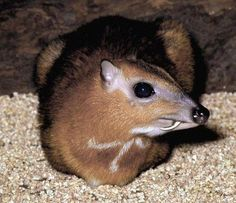 photonasty:  The water chevrotain (Hyemoschus aquaticus), because OMG D'AWWWW IT'S A MOUSE DEER WITH FANGS!!