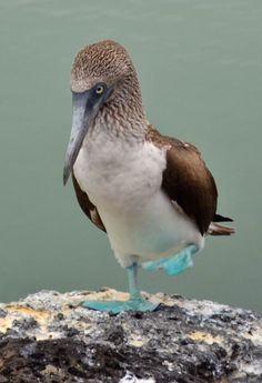 Blue-footed Booby, S