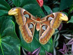 atlas silk moth