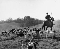 Hounds on a fox hunt. Photograph by Peter Stackpole. Middleburg, Virginia, November 1953.