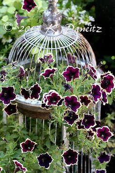 Bird cage & petunias. Annual flowers. Garden accent.