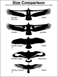 Condors are the largest North American bird. Check out the size comparison to other birds!