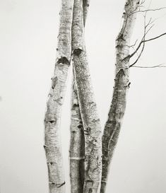 birch out