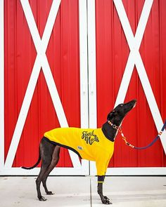 "Sheri | Photographer on Instagram: ""Freya overheard some kids calling her ""a cool dog"" and it went straight to her head. #greyhound #houndtees #fashionhound #speednoodle"""
