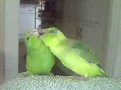 Brother & Sister #Parrotlets