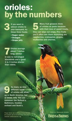 Orioles: by the numbers. Get more great info on your favorite birds from our book The Best of Birds & Blooms 2014! birdsandblooms.com