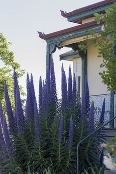 two years ago, this echium was in a little tiny pot www.oldschoolmastershouse.com.au