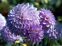 Light purple dahlia