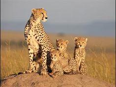 sita and cubs