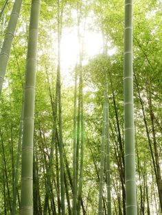 Bamboo Forest at Fushimi Inari Shrine
