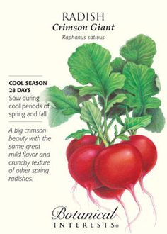 $1.69 28 days. A big crimson beauty with the same great mild flavor and crunchy texture of other spring radishes.