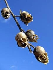 """a strange plant called snap dragon, when the seeds dry out they look like skulls! They call them """"the dragon's skull""""."""