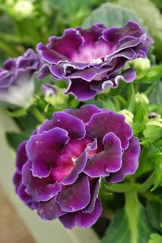 Purple Gloxinia...Oh, I used to grow these.  They are so beautiful.  They are like gigantic African Violets....Rickie