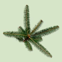 A thin, spire-like top sets the pyramid-shaped Balsam Fir apart. Short, long-lasting dark green needles have a  strong evergreen scent. Dense limbs can hold weighty ornaments and larger globe or C-bulb lights. | Photo: Neil Fletcher and Matthew Ward/Getty Images | thisoldhouse.com