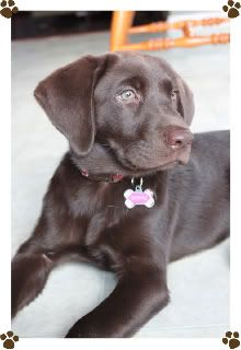 Little chocolate lab & pointer mix (our new puppy) on ...