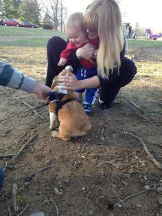 Corgi puppy meets baby at the park