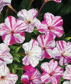 """Four O'Clock """"Marbles Red & White""""  sweet, orange-blossom scent;  Attracts hummingbirds"""